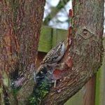 boomkruiper hoekwierde