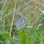 Bruin blauwtje (ondervleugel)