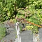Bruinrode heidelibel (m)