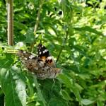 Distelvlinder (ondervleugel)
