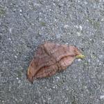 Eenstaart (bruine)