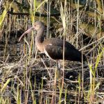 roze ibis hoekwierde