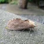 Snuitvlinder