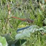 Steenrode heidelibel (m)