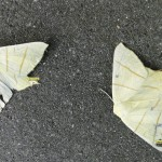 Vliervlinder